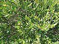 Cneorum tricoccon2.jpg