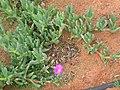 Coastal plant in flower geraldton.jpg