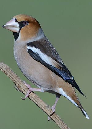 Hawfinch - Male in winter