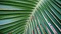 Coconut Leaves at Madhurawada.JPG