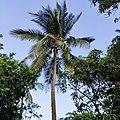 Coconut tree 3.jpg