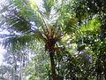Coconut tree with orange coloured coconut.JPG