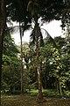 Cocos Nucifera 07.jpg