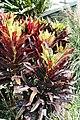 Codiaeum variegatum 33zz.jpg