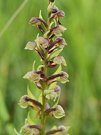 Coeloglossum viride (flowers).jpg