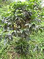 Coffee tree with many coffee-cherries growing on it (by Brian Smith).jpg