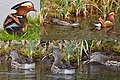 Collage of a female Mandarin duck that is swallowing a frog alive^ The male is watching - panoramio.jpg
