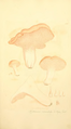 Coloured Figures of English Fungi or Mushrooms - t. 176.png
