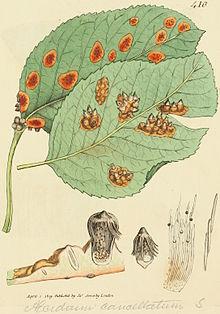 груша ржавчина