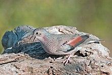 La tortorina comune (Columbina passerina) è una delle specie più piccole della famiglia