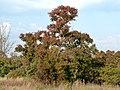 Combretum erythrophyllum, herfsloof, a, Nkwe.jpg