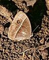 Common Bush Brown (Bicyclus safitza) faded specimen ... (31560691874).jpg
