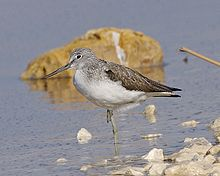 Common Greenshank.jpg