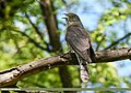 Common Hawk-cuckoo (Hierococcyx varius) (48297680431).jpg