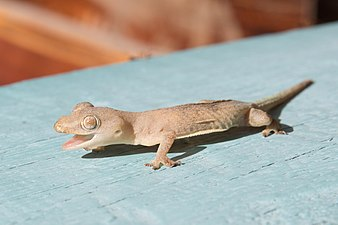 Common House Gecko with open mouth, in Laos.jpg