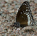 Common Indian Crow (Euploea core) in Kawal, AP W IMG 1808.jpg