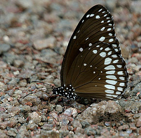 Description de l'image Common Indian Crow (Euploea core) in Kawal, AP W IMG 1808.jpg.