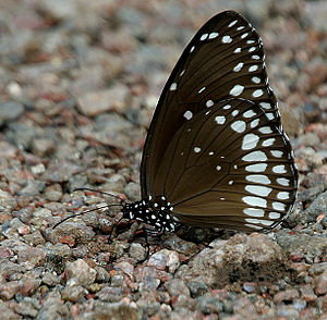 Euploea core - Mud-puddling in Kawal Wildlife Sanctuary, India