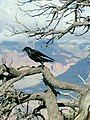 Common Raven Grand Canyon 2.jpg