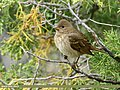 Common Rosefinch (Carpodacus erythrinus) (35459188010).jpg
