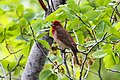 Common Rosefinch (Carpodacus erythrinus) (8079449671).jpg
