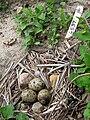 Common Tern Nest with Three Eggs and Three Rocks.jpg