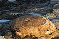 Concretion - Hazard Reef (3037762232).jpg