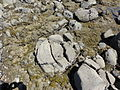 Concretions at hot water Beach 9.JPG