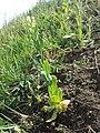 Conringia orientalis sl18.jpg