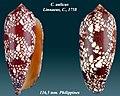 Conus aulicus 2.jpg