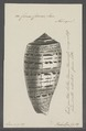 Conus cervus - - Print - Iconographia Zoologica - Special Collections University of Amsterdam - UBAINV0274 085 10 0077.tif