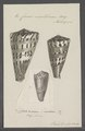 Conus mustelinus - - Print - Iconographia Zoologica - Special Collections University of Amsterdam - UBAINV0274 085 10 0017.tif