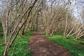 Coppicing by the bridleway, Ware's Wood - geograph.org.uk - 1252988.jpg