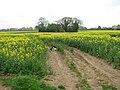 Copse in oilseed rape field - geograph.org.uk - 1276075.jpg