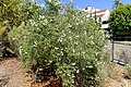Cordia decandra - Mildred E. Mathias Botanical Garden - University of California, Los Angeles - DSC02851.jpg