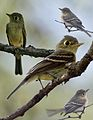 Cordilleran Flycatcher from The Crossley ID Guide Eastern Birds.jpg