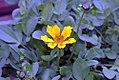 Coreopsis auriculata Zamphir 0zz.jpg