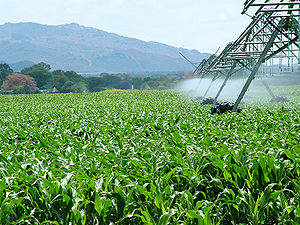 Ethanol fuel - Cornfield in South Africa