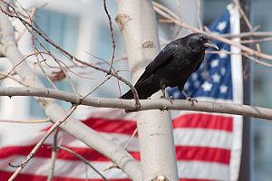 An American Crow (Corvus brachyrhynchos), take...