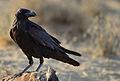 Corvus corax laurencei.jpg