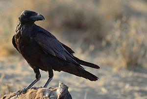 Common raven - 140 px
