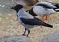 Corvus cornix (6337839322).jpg