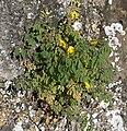 Corydalis lutea-(dkrb).jpg