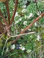 Corydalis malkensis (13219904164).jpg