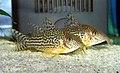 Corydoras haraldschultzi aquarium.jpg