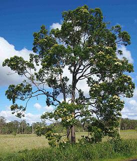 <i>Corymbia intermedia</i> species of plant