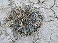 Coryphantha dificilis (5660223333).jpg