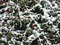 Cotoneaster dammeri en hiver (1).JPG
