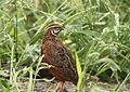 Coturnix delegorguei (Phasianidae) (Harlequin Quail) - (male adult), Kruger National Park, South Africa.jpg