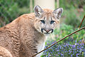 Cougar Standing with Purple Flowers (17235554274).jpg